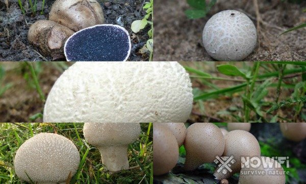 Дождевик гриб ложный
