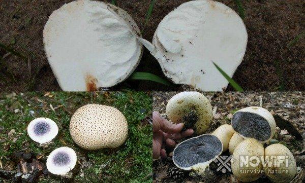 фотографии гриба дождевика