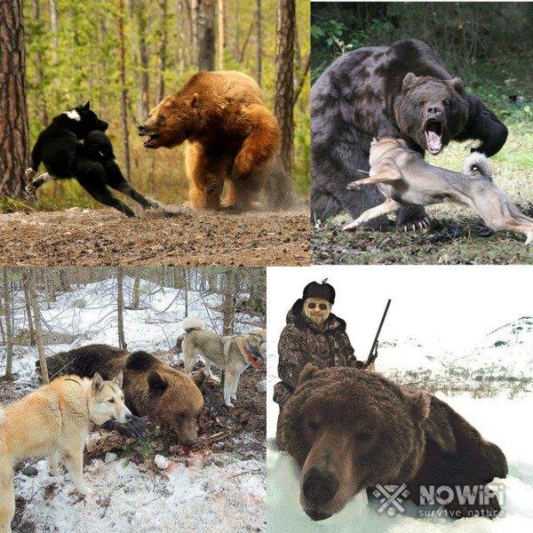 Охота на медведя с лайками