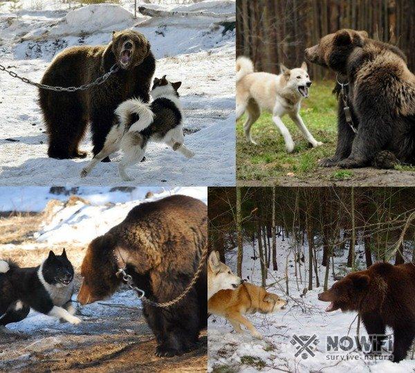 Как притравить лайку на медведя