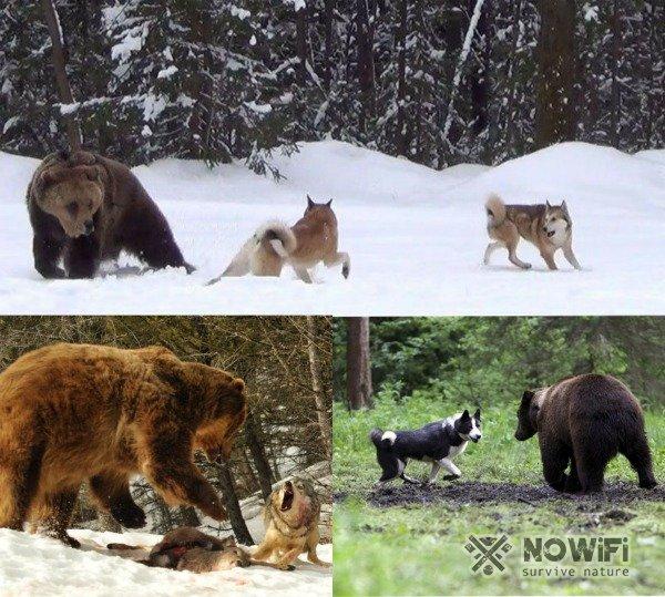 Охота на медведя вдогонку