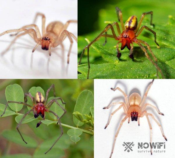 Хеиракантиум паук