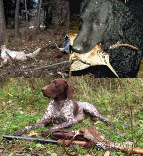 Охота на вальдшнепа с собаками