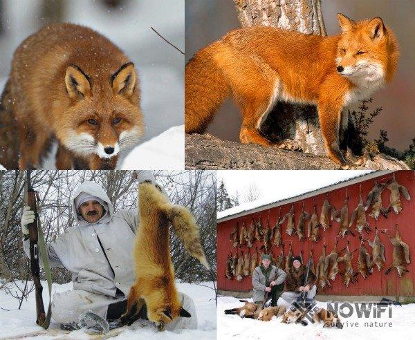 Охота на лису в тайге
