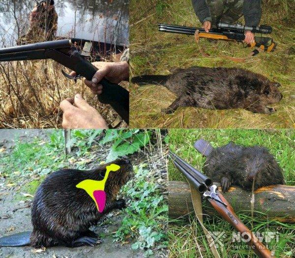 Охота на бобра с ружьем